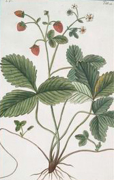 Fragaria sp. Strawberry late 1700s nypl cropped