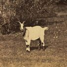 Goats and Home Buying in the 1920's